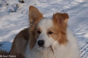 Spy im Schnee (Hahnheide)