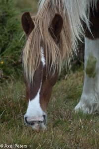 Wildpferd im Bodmin Moor